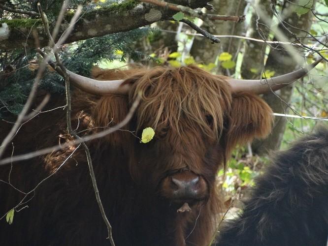 petites vaches allaitantes au parc toute l'année