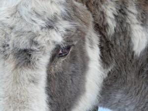 location d'ânes dans le parc régional des hautes vosges